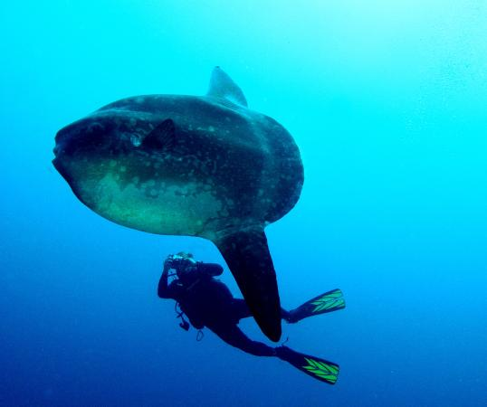Dive with mola mola moonfish picture of relax bali for Opah fish price
