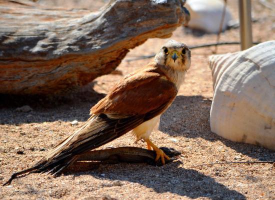 Kestrel falcon on Thevenard Island