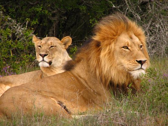 Amakhala Game Reserve, Sudáfrica: Male & Female Lion