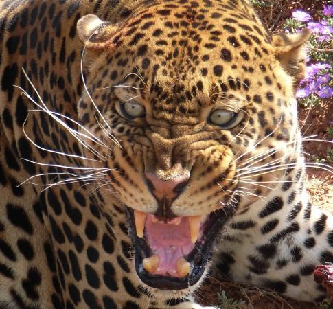 Amakhala Game Reserve, Sudáfrica: Leopard