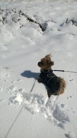 Oxenhope, UK: Benny enjoying the snow at Westfield Lodge
