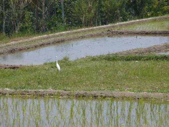 Bali Bintang Bike Tours: Heron on the rice paddies