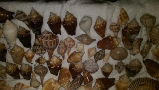 Island Inn: shells collected