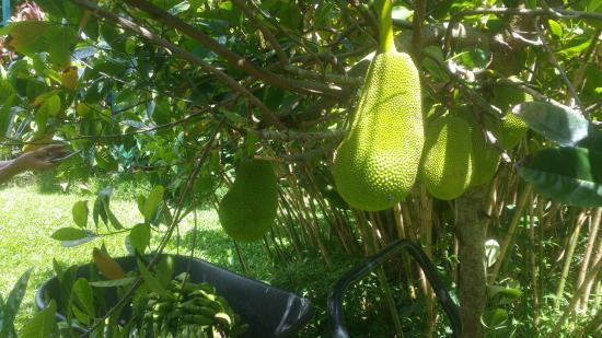 เคานากาไค, ฮาวาย: Jack Fruit