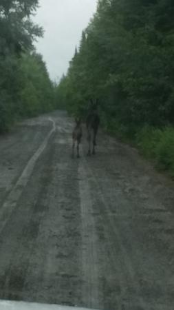 Moosehead Lake: Moose!