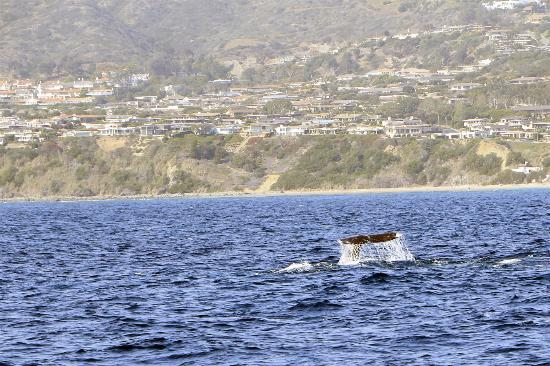 Dana Point, CA: Whale Watching