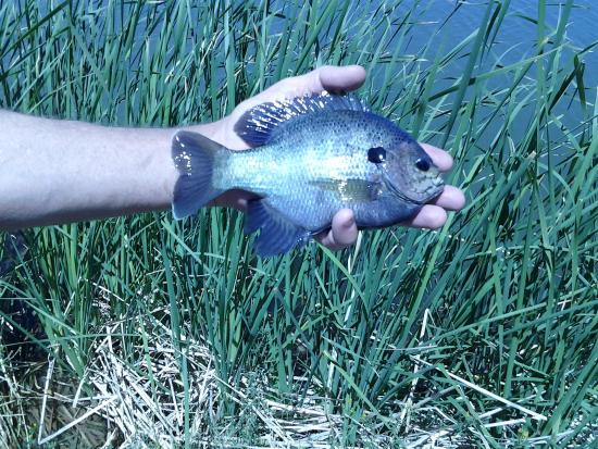 "Roper Lake State Park: One of the ""average"" size Bluegills we were catching"