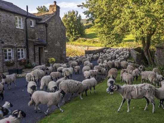 Yorkshire Dales National Park, UK: Rush hour in Thwaite - this can occur several times a week