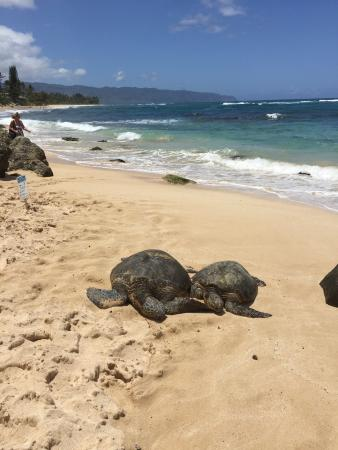 Escape Waikiki Tours Live Sea Turtles At Turtle Beach