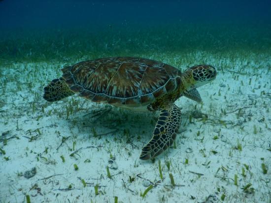 Caye Caulker, Belize: turtle!