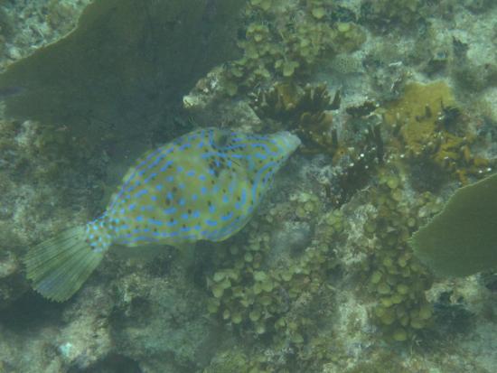 Oyster Pond, St. Martin: Scrawled filefish