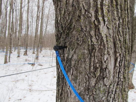 Lanark, Kanada: Zapfstelle an einem Ahornbaum