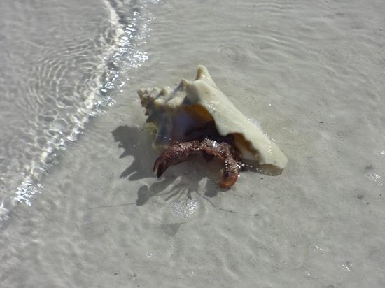 Cat Island: conch
