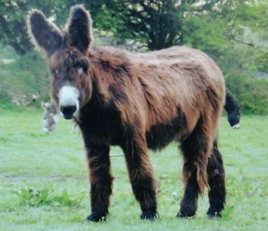 Penryn, UK: Bertie, my 'adopted' donkey