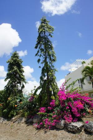 Christchurch, Barbados: interesting trees and pretty flowers
