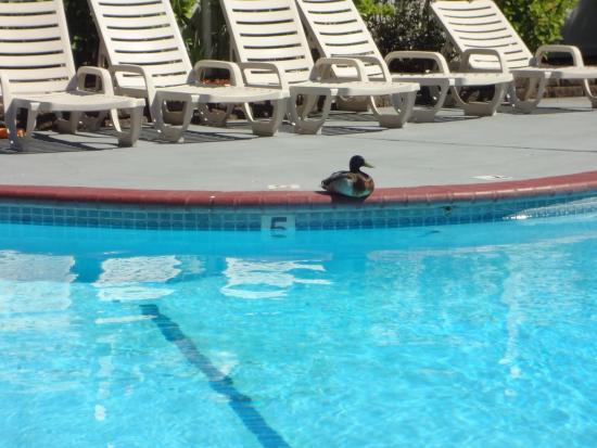 โรสเบิร์ก, ออริกอน: The duck is real! Part of the welcoming staff?