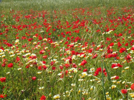 Santa Clara a Velha, Portugalia: a field of poppies and daisies