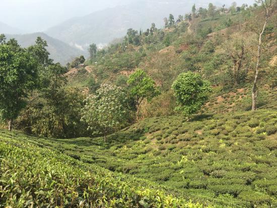 Glenburn Tea Estate: The tea gardens from the terrace near our room