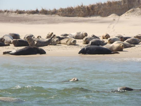 Monomoy Island Excursions : Seals!