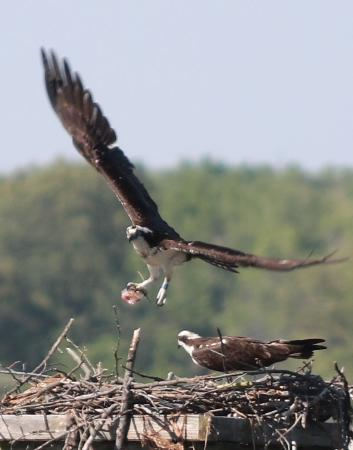 Marbury, MD: Osprey bringing food to the nest