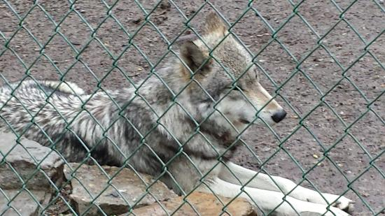 British Columbian wolf at Lakota Wolf Preserve_large.jpg