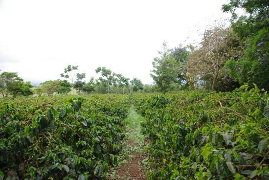 plantations de caf ngorongoro farm house tanganyika wilderness camps tripadvisor. Black Bedroom Furniture Sets. Home Design Ideas