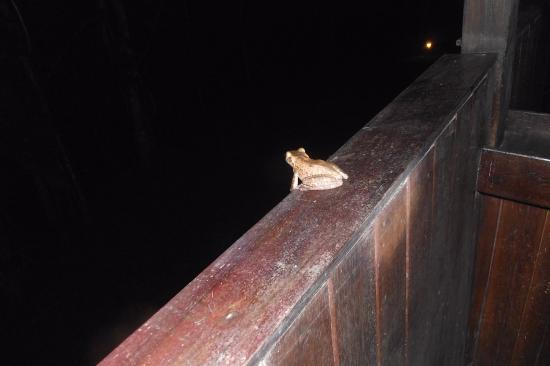 Cuyabeno Lodge: Tree frog in Dining Area. Truly Close to wildlife