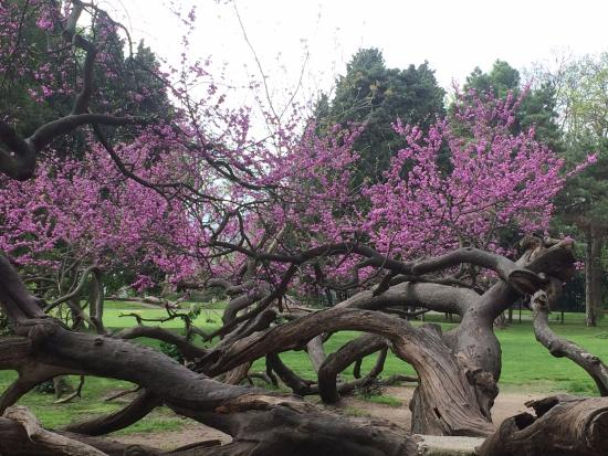 Image result for judas tree in a garden
