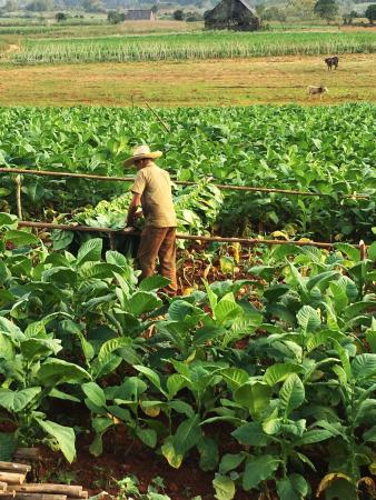 piantagioni di tabacco