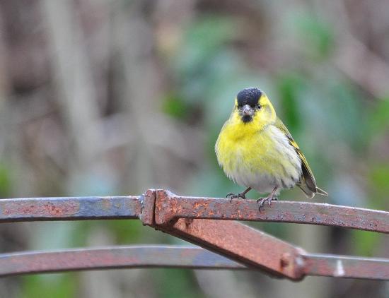 Strathyre, UK: Birds in the garden