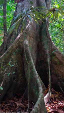 Drake Bay, Costa Rica: Дерево-гигант. Национальный парк Корковадо, Коста-Рика