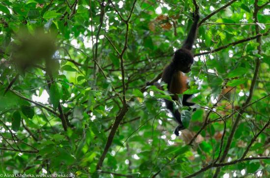Drake Bay, Costa Rica: Обезьяна-спайдер. Национальный парк Корковадо, Коста-Рика