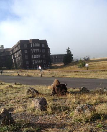 Bison In Am Bedding Down Picture Of Old Faithful Inn