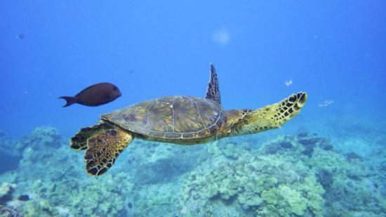 Blue Wilderness Dive Adventures: Beautiful sea turtles casually swimming by