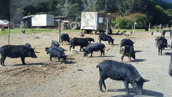 Coromandel, Yeni Zelanda: So unexpected on our way to waterworks. Crazy fun pig experience. we had to come back the next d