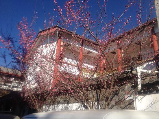 Rendezvous Lijiang Inn: 每年梅花盛开