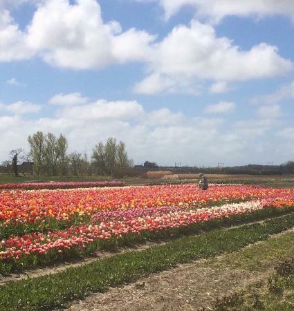 Hillegom, Ολλανδία: Tulpen plukken april-mei 2016