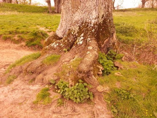 South Cadbury, UK: Radici nodose di uno degli alberi sulla cima
