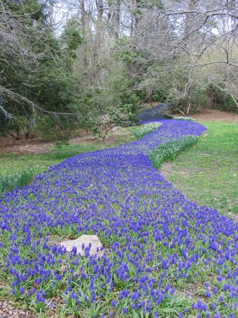 Heritage Museums U0026 Gardens: Purple Carpet Of Flowers