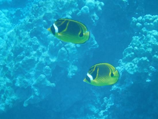 Kealakekua, HI: I don't know the name of these beautiful fish!