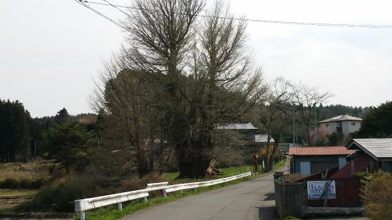 Large Ginkgo Tree in Ichokikubo