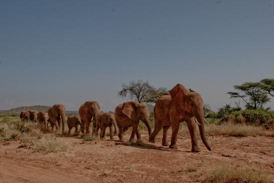 Elephants In Samburu Picture Of Elephant Bedroom Camp Samburu National Reserve Tripadvisor