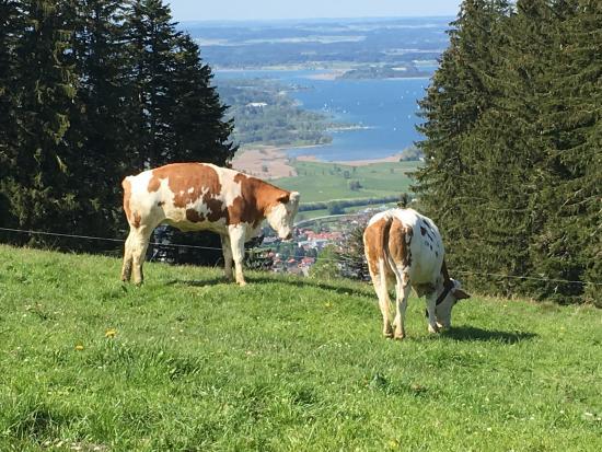 Grassau, Deutschland: Välmående kor. Härliga vandringsleder