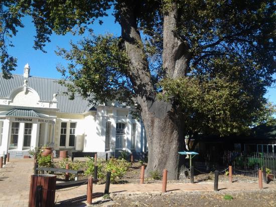 The Old Slave Tree: The survivor!