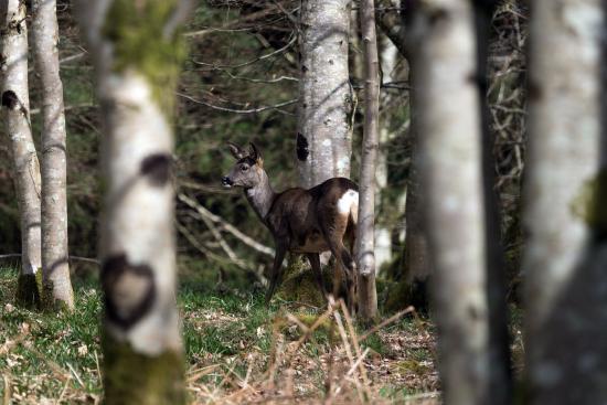 Dalbeattie, UK: First glimpse of the deer
