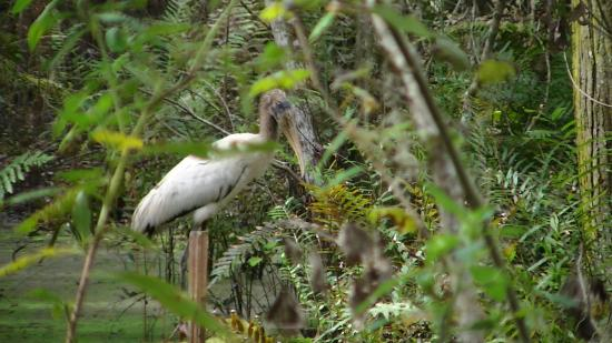 Polk City, FL: bird fishing for food beside the trail