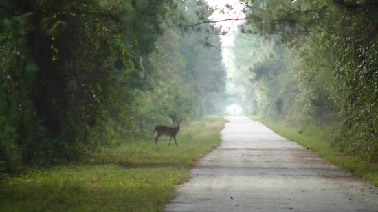 Polk City, FL: deer coming out from brush alongside the trail