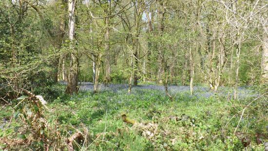 Garstang, UK: Bluebells galore.