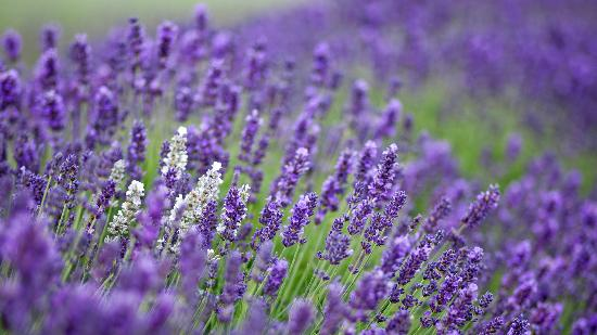 Gillingham, UK: Lavender Field, photographed on a one-day workshop with L&L