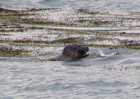 Kenmare, Irlanda: Seal today